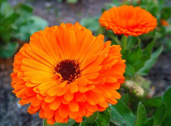 Calendula- Anti-inflammatory Flower