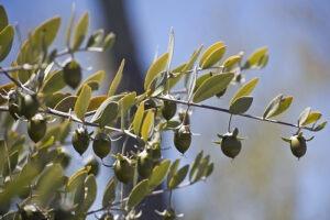 jojoba-seeds