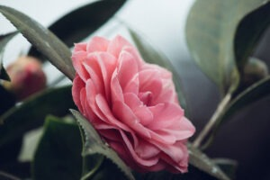 Rose otto is one of our favorite essential oils for stress