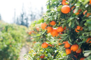 Sweet orange is one of our favorite essential oils for stress.