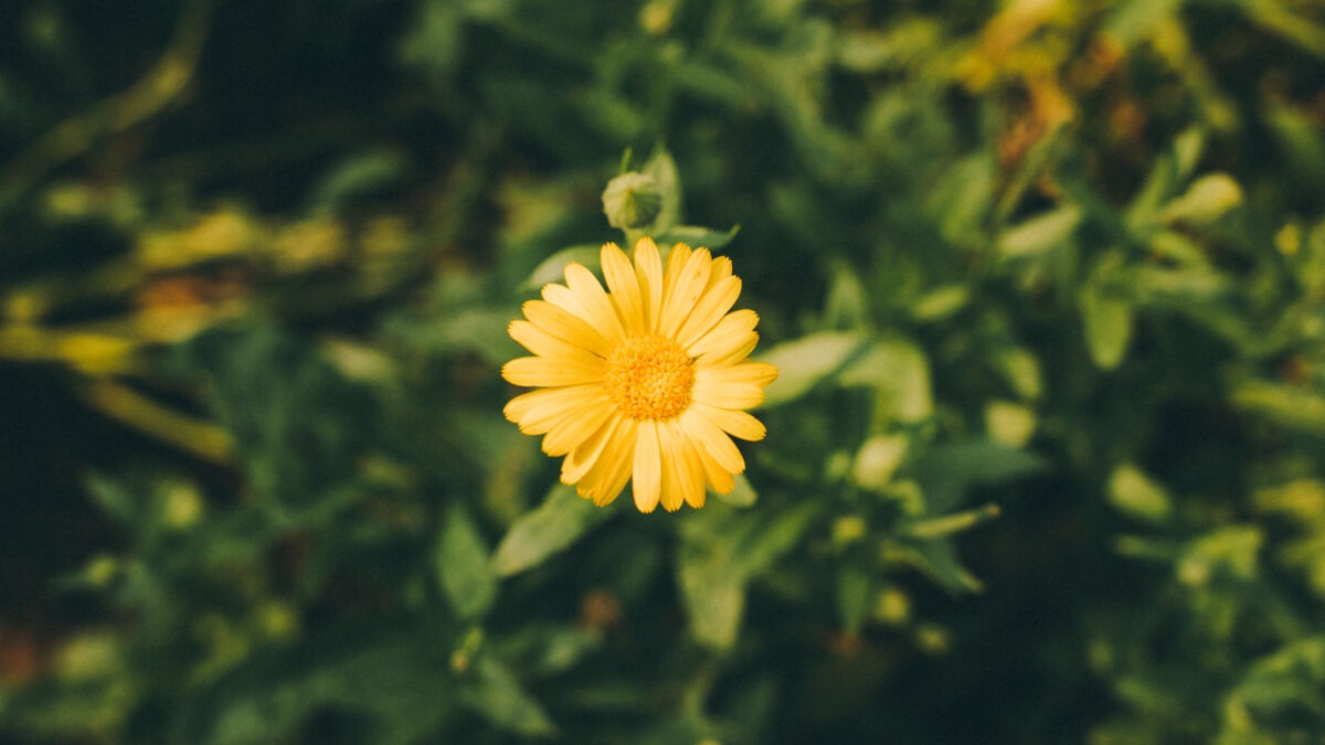 Calendula for Skin Care: A Must-Have for Sensitive Skin